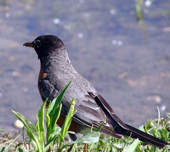 Robin Back View Walking Wild Animal Physical Beak