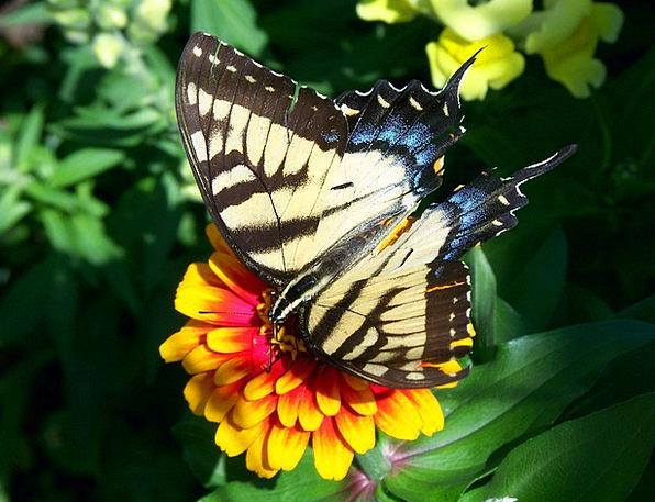 Scarce Swallowtail Animal Physical Butterfly Flyin