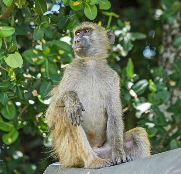 Baboon Ape Primate Archbishop Monkey Sitting Seden