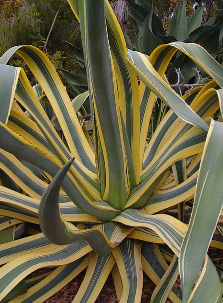 Agave Landscapes Nature Plant Vegetable Cactus Gre
