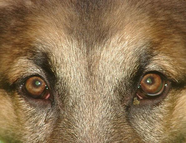 Dog Judgments German Shepherd Eyes Looking Animal