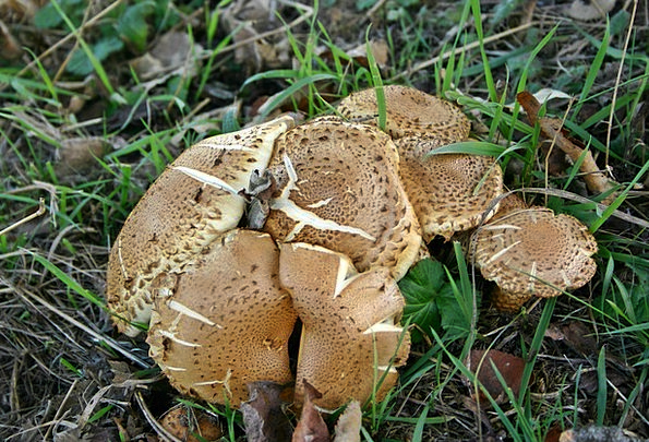 Mushrooms Burgeons Landscapes Fall Nature Grass La