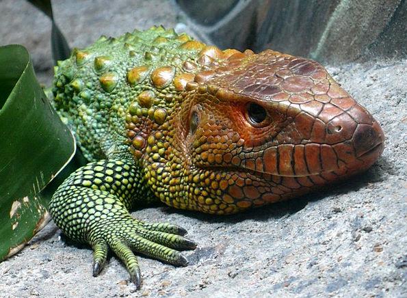 Caiman Lizard Exotic Unusual Reptile South America