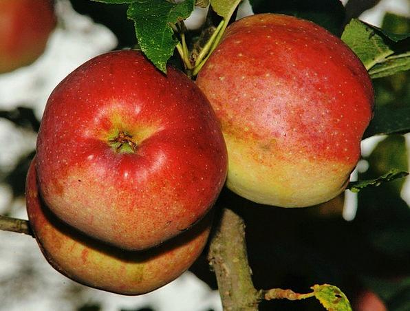 Tree Sapling Drink Food Apple Apple Tree Vitamins