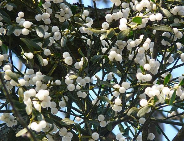 Mistletoe Berries Landscapes Nature Green Lime Mis