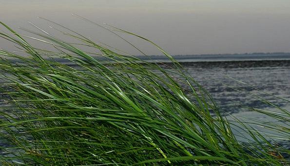 Grass Lawn North Sea Watts Wadden Sea Wind Breeze