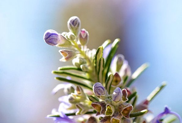 Rosemary Basil Landscapes Vegetable Nature Spice I