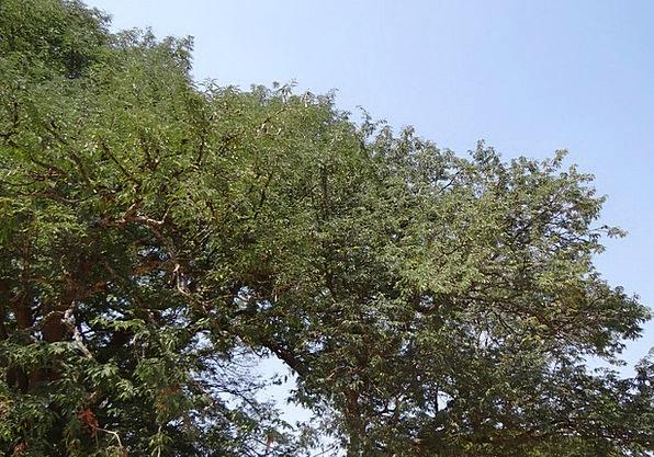 Tamarind Tree Drink Food Fruit Ovary Tamarindus In