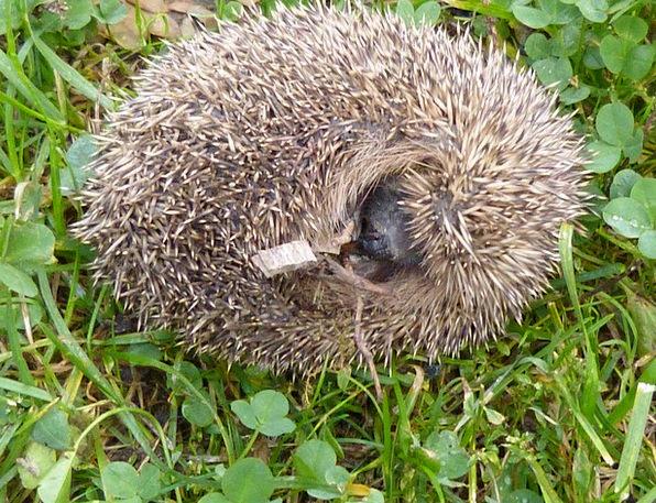 Hedgehog Spur Branch Erinaceus Europaeus Ball Sphe