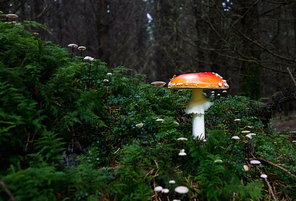 Mushroom Burgeon Landscapes Nature Forest Woodland