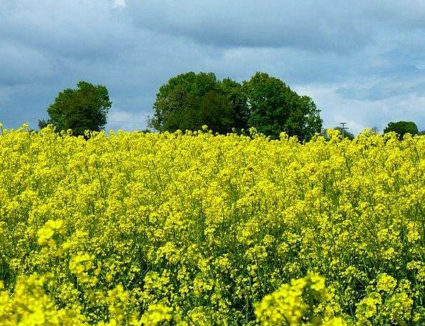 Oilseed Rape Landscapes Nature Landscape Scenery F