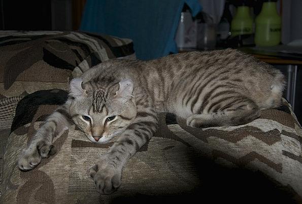 Cat Feline Animals Faunae Lynx