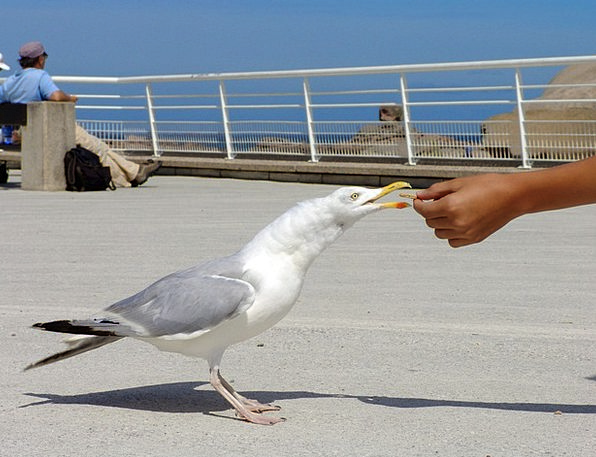 Seagull Starvation Feed Food Hunger