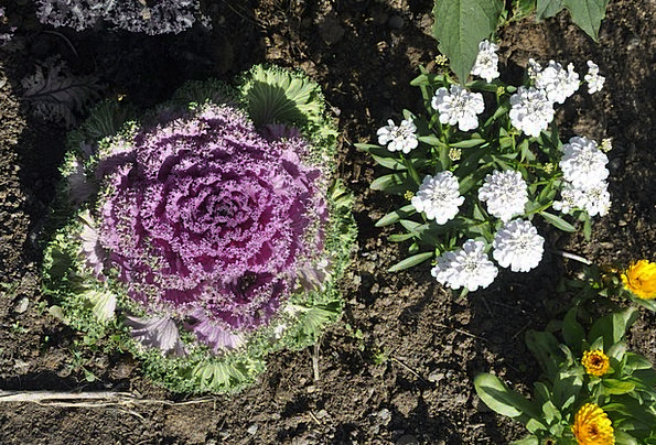 Cabbage Flowery Plants Florae Floral Botany Natura