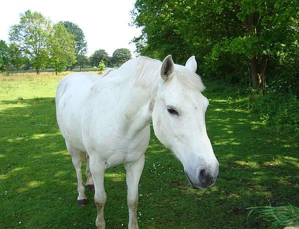 Horse Mount Snowy Pasture Meadow White East Frisia