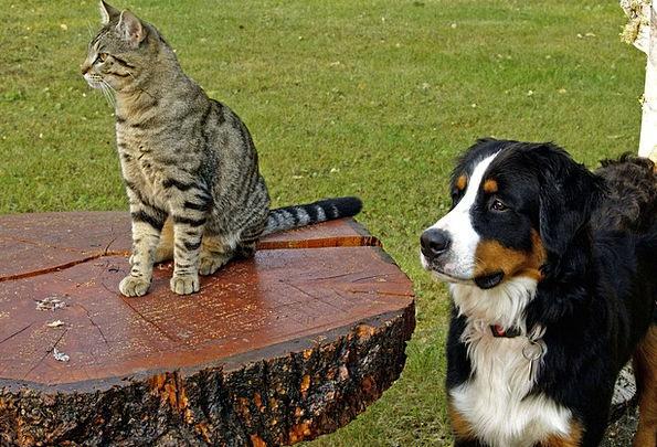 Bernese Mountain Dog Doglike Tabby Canine Nature S