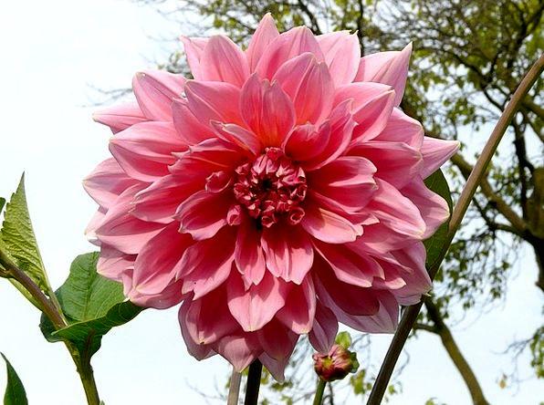 Dahlia Landscapes Vegetable Nature Flower Floret P
