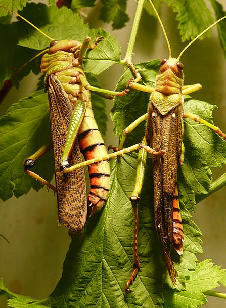Giant Grasshopper Insect Bug Grasshopper Animal Ph