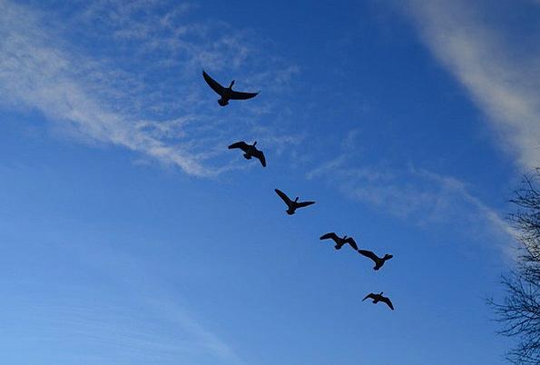 Geese Textures Herd Backgrounds Flight Aeronautica