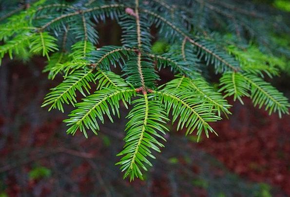 Tannenzweig Fir Shoots Green Lime Pine Needles Spr