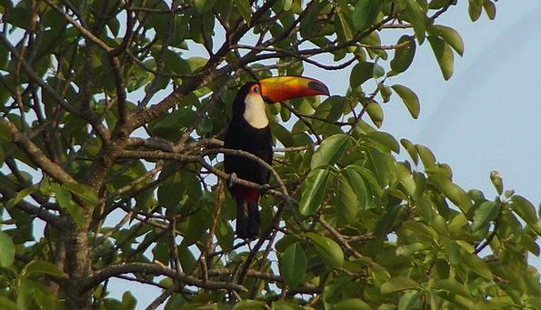 Bird Fowl Faunae Tatu Animals Nature Countryside T