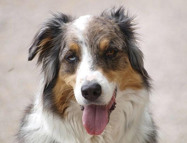 Dog Canine Blotto Schäfer Dog Drunk Australian She
