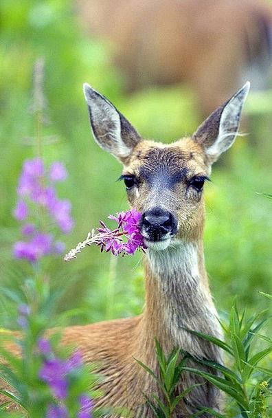 Fireweed Tailed Followed Deer Black Dark Sitka Dee