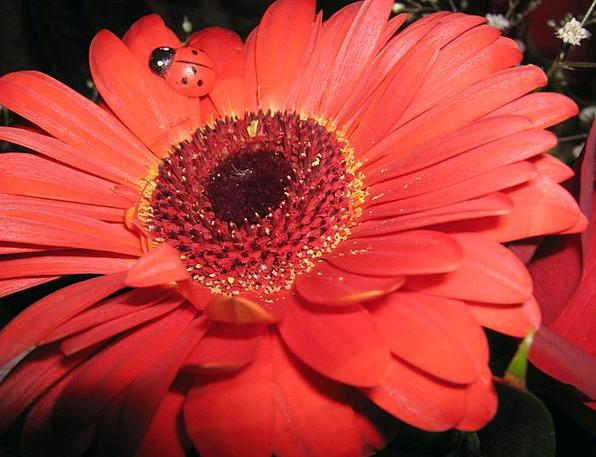 Gerbera Red Bloodshot Daisy Close Up Flower Floret