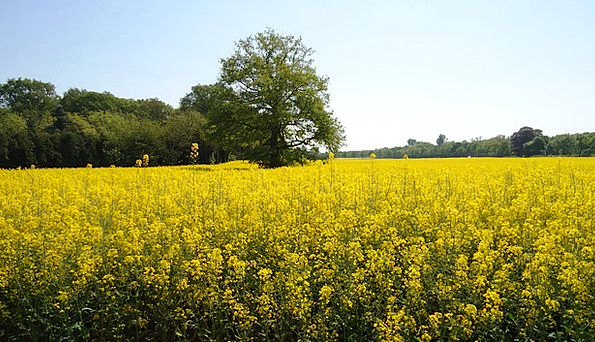 Field Of Rapeseeds Creamy Renewable Energy Yellow