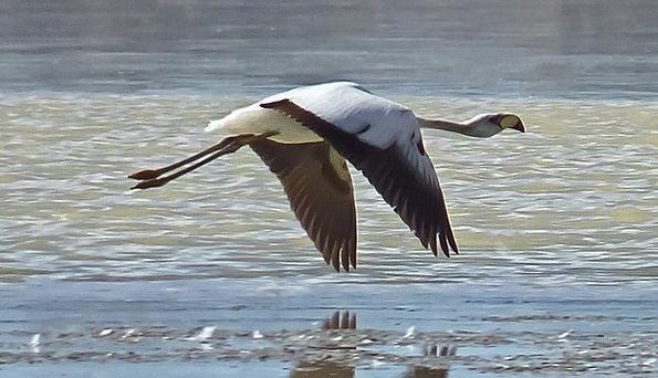 Flamingo Lagoon Inlet Altiplanic Freedom Bird Fowl
