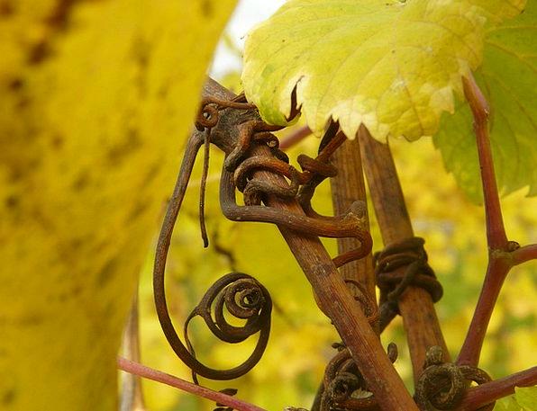Grapevine Gossip Landscapes Nature Vine Creeper Re