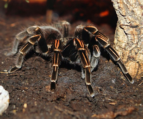Spider Hairy Hirsute Tarantula Exotic Unusual Terr