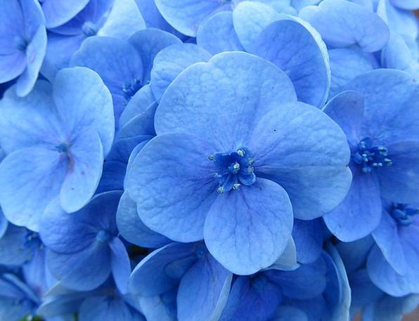 Hydrangea Floret Blue Azure Flower Stamens Blossom