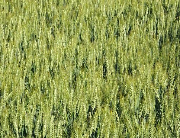 Wheat Landscapes Nature Cornfield Epi Spring Coil