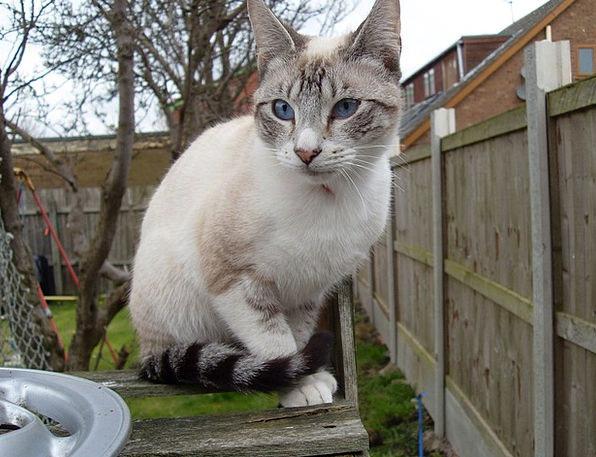 Cat Feline Snowy Stripes Strips White Blue Azure B