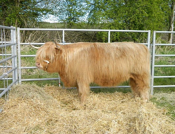 Highland Upland Cows Scotland Cattle Outdoor Bull