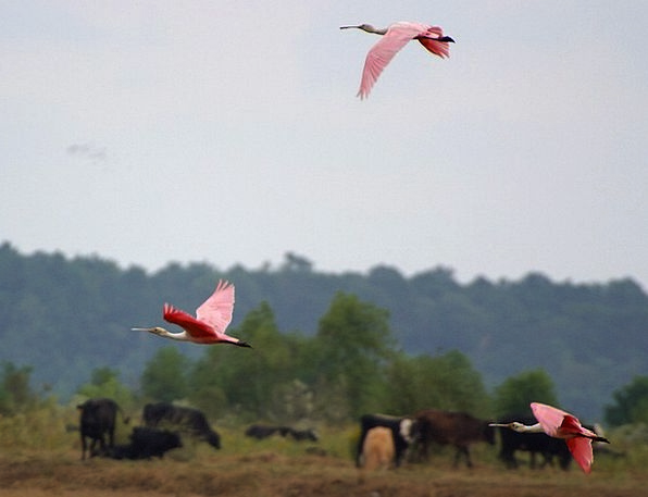 Flamingos Aeronautical Fly Hover Flight Animal Wor