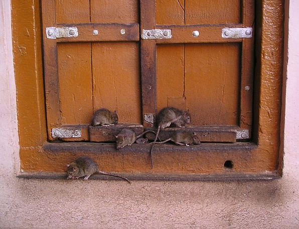 Rat Swine Rat Temple India Holy Consecrated