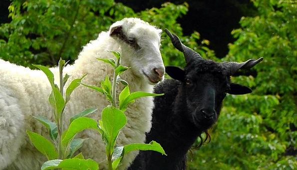 Sheep Ewe Butt Weis Ram Two Black Sheep Pasture Wh