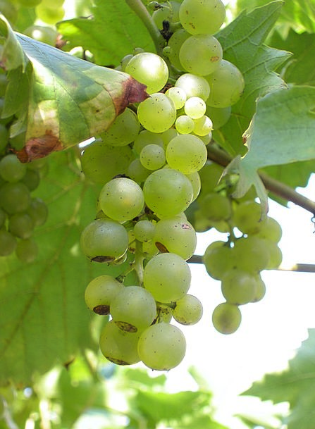 White Grapes Groups Grapes Bunches