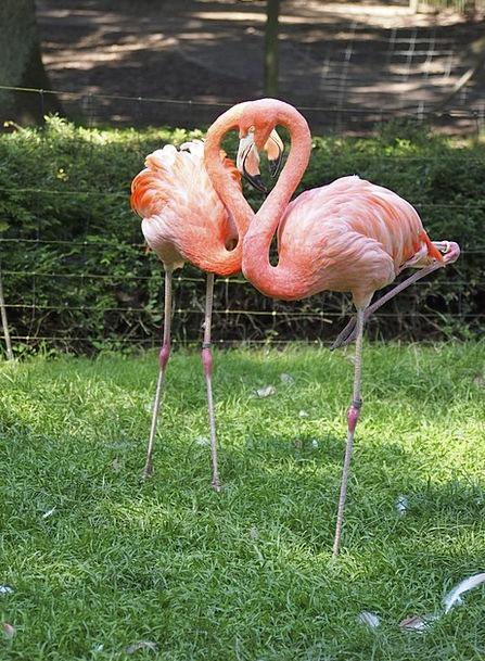 Flamingo Fowl Pink Flushed Bird