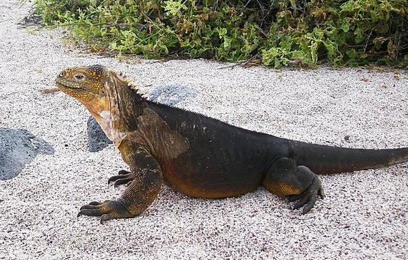 Iguana Landscapes Nature Island Isle Galapagos Rep