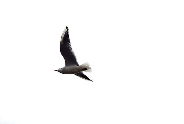 Bird Fowl Aeronautical Background Contextual Fligh