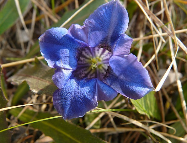 Gentian Landscapes Nature Mountain Flower Alpine F