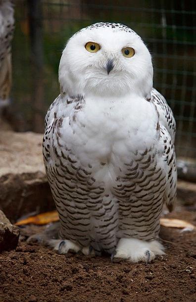 Animal Physical Bill Bird Fowl Beak Owl Eye Judgme
