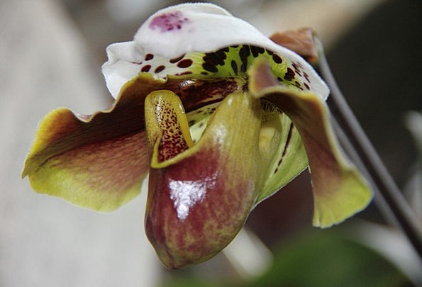 Orchid Flower Floret Orchid Flower Frauenschuh Win