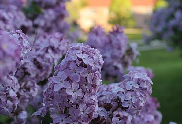 Lilacs Mauves Coil Purple Elaborate Spring Lilac M
