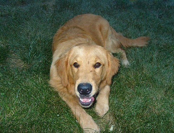 Dog Golden Excellent Retriever Grass Lawn Mammal R
