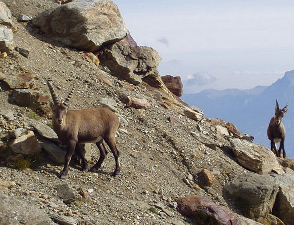 Capricorn Mountains Crags Ibex Animals Faunae Cham