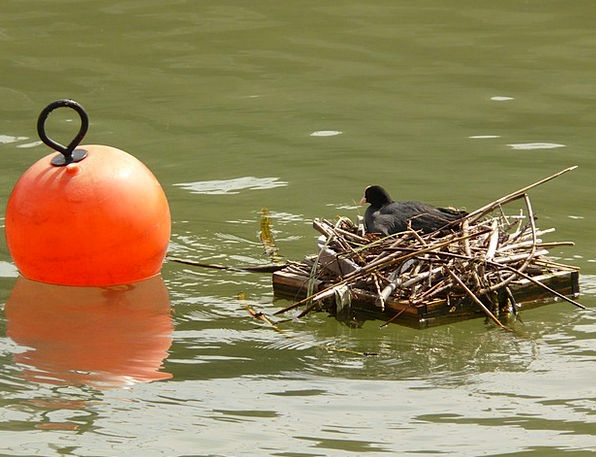 Coot Shell Water Aquatic Nest Bird'S Nest Orange B